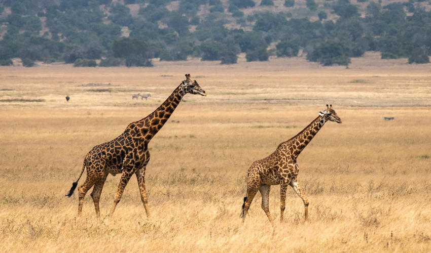 The Masai giraffe is native to East Africa, and is the largest of all giraffe subspecies