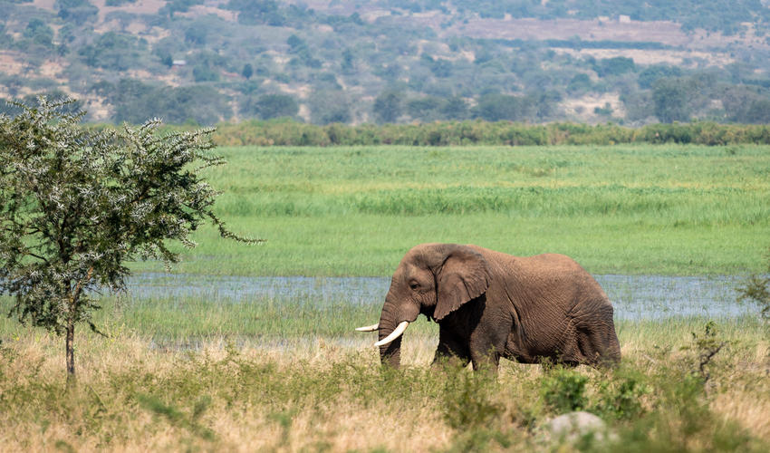 Elephant were reintroduced to Akagera in the 70s, and remain a popular attraction for visitors