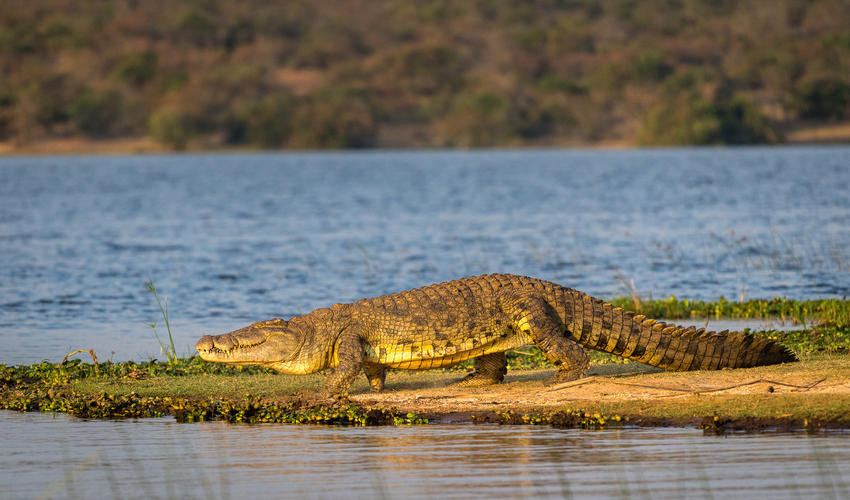 The Nile crocodile is the largest freshwater predator in Africa