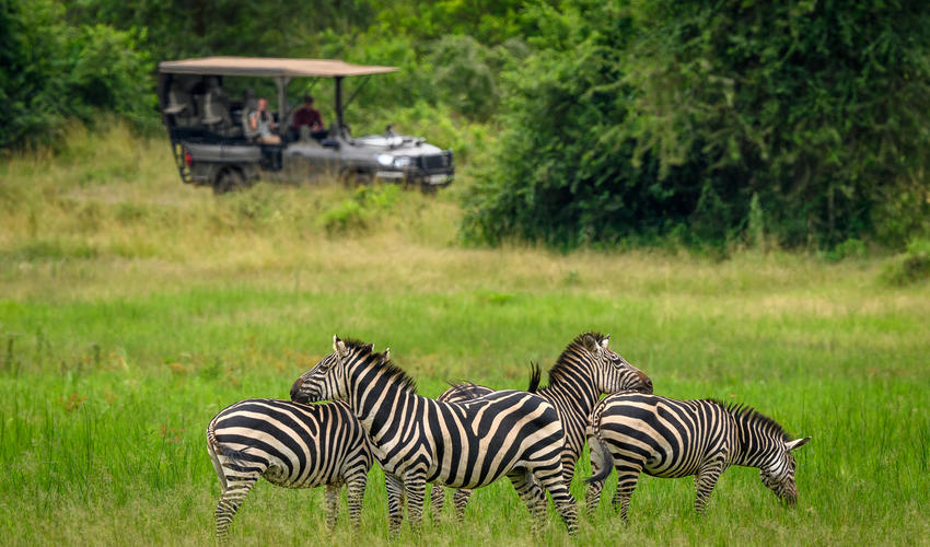 Plains zebra seen from a game drive