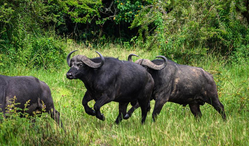 Buffalo in Rwanda's Akagera National Park