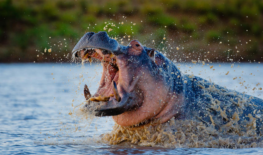 Motswari Private Game Reserve | Hippo