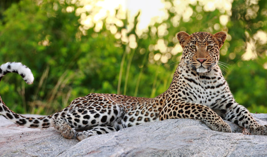 Motswari Private Game Reserve | Leopard