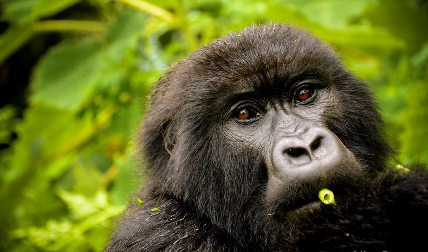 Gorilla, seen on trek from Sabyinyo Silverback Lodge