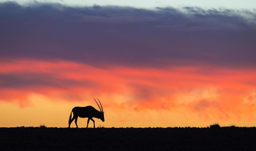 Gemsbok sunset
