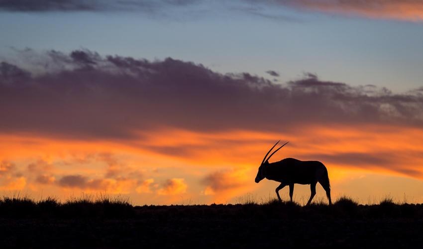 Oryx antelope - sunset silhouette