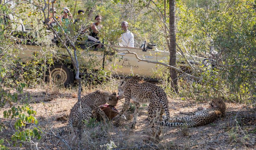 Cheetah on a kill