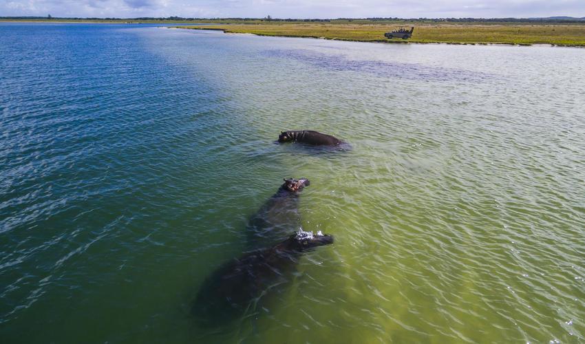 Resident hippo in Lake Sibaya