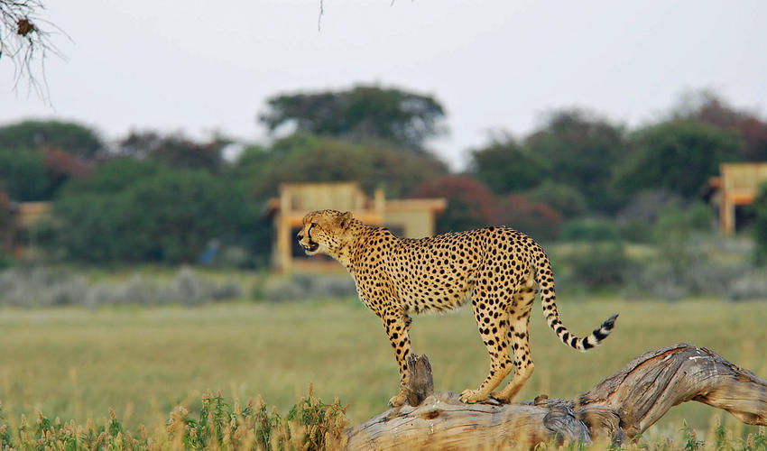 The Central Kalahari offers some of the world's best cheetah viewing