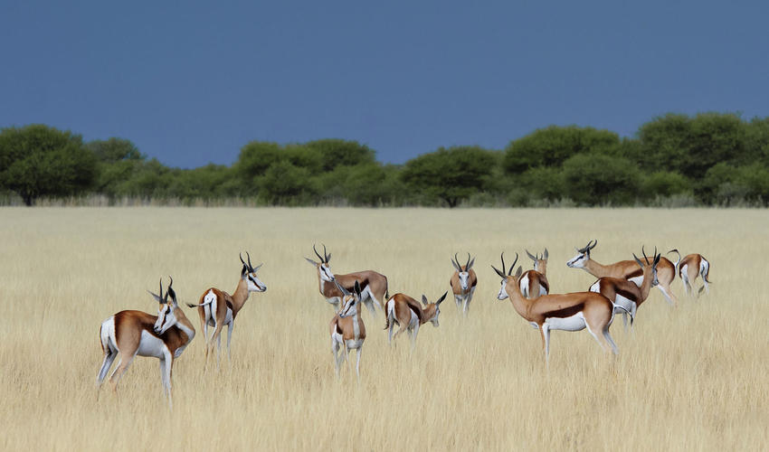 The grasslands attract herds of antelope such as springbok