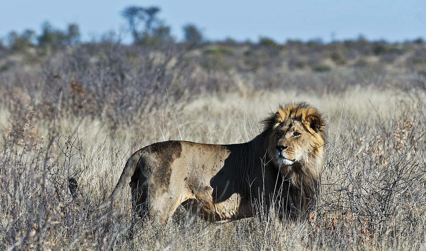 The Central Kalahari is known for its black-maned lion population