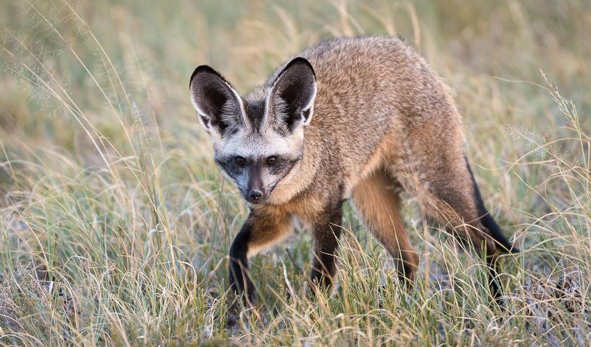 Bat-eared fox may be seen in the Central Kalahari