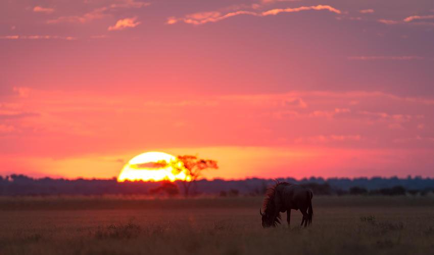 A wildebeest grazes in front of the Kalahari sunset