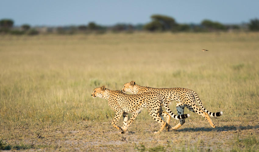 Cheetah seen on the pan