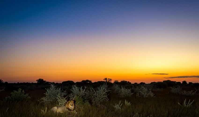 A Kalahari lion at dusk