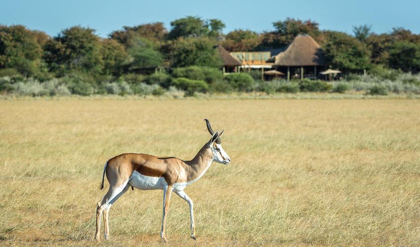A springbok on the open plain