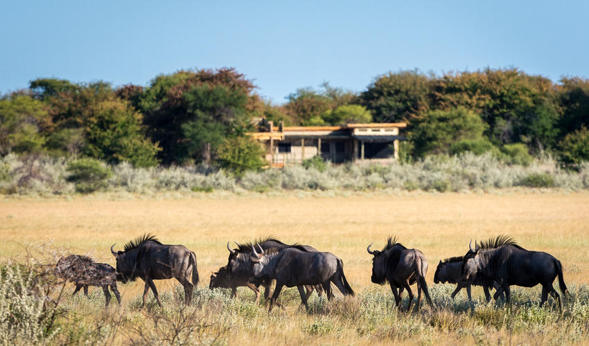 A herd of wildebeest on the pan