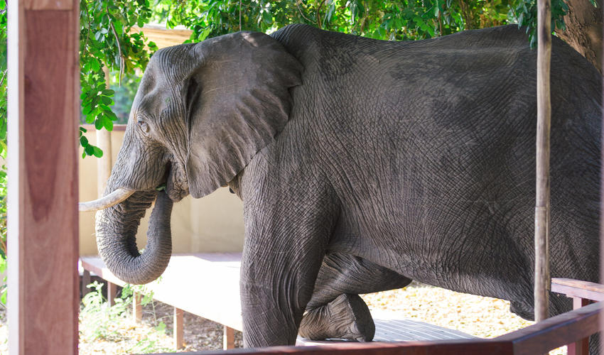 Elephant crossing the walkway to the swimming pool area