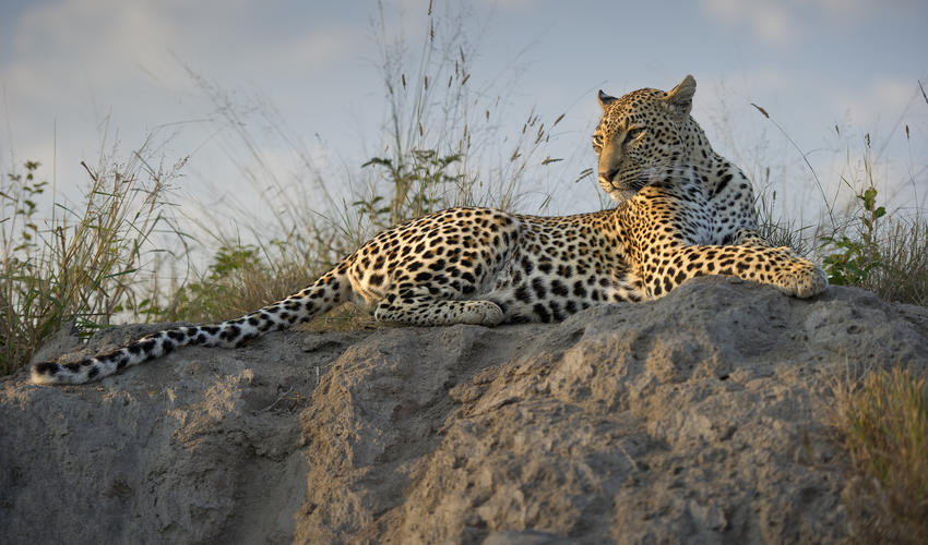 Leopard sighting on Game Drive