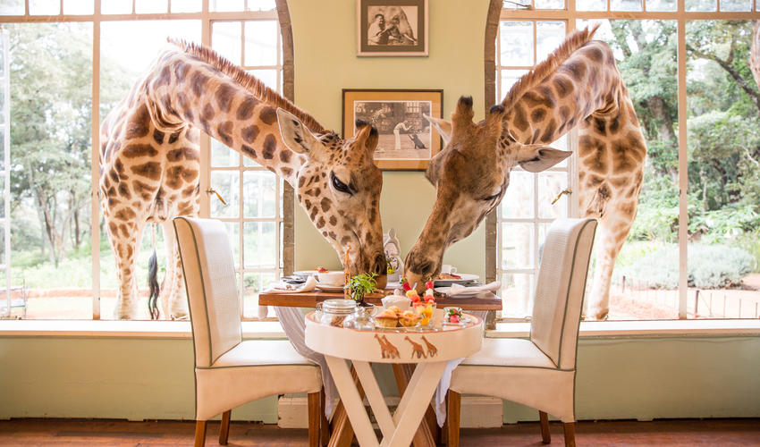 Breakfast with the giraffes