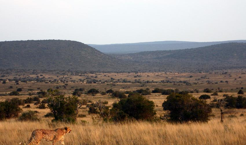 Kwandwe consists of 22 000 ha/ 54 000 acres of pristine wilderness in South Africa's Eastern Cape province