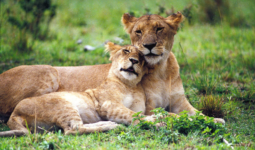 A lioness and her sub-adult cub enjoy some bonding time