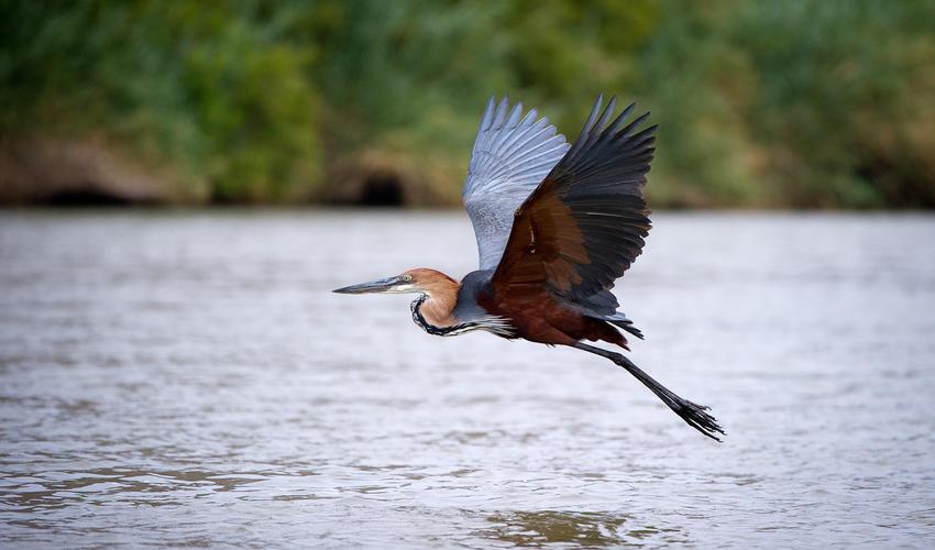 Goliath heron takes flight along the Kunene River