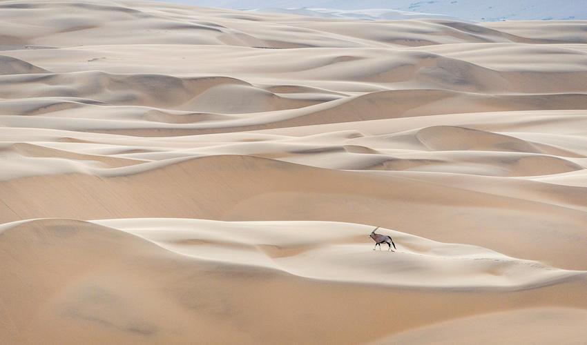Oryx in the dune field near Serra Cafema