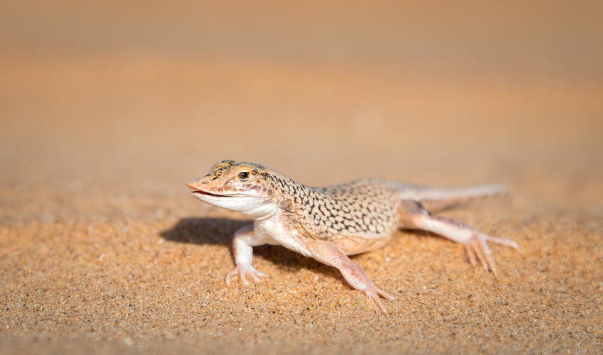 Its unusual flattened snout with sharp cutting edge makes the shovel-snouted lizard easily recognisable