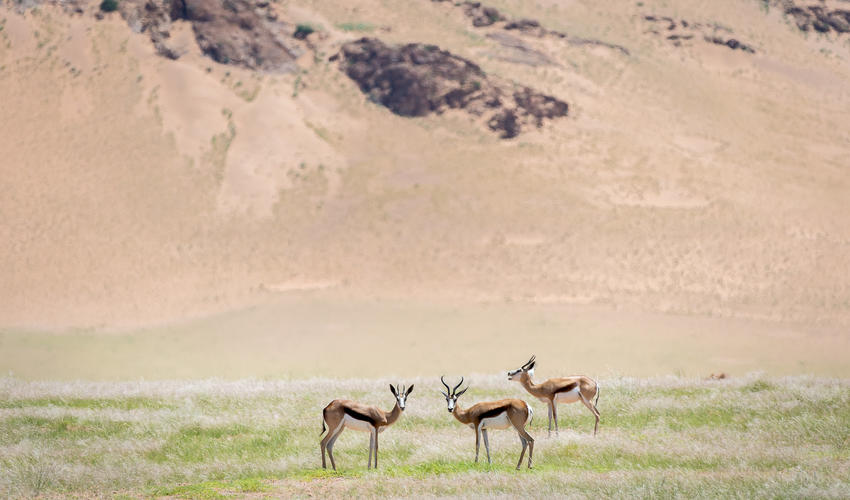 Arid-adapted springbok can be seen in the Hartmann's Valley