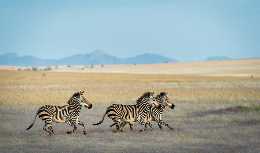 Hartmann's mountain zebra is a subspecies of the mountain zebra found in far south-western Angola and western Namibia
