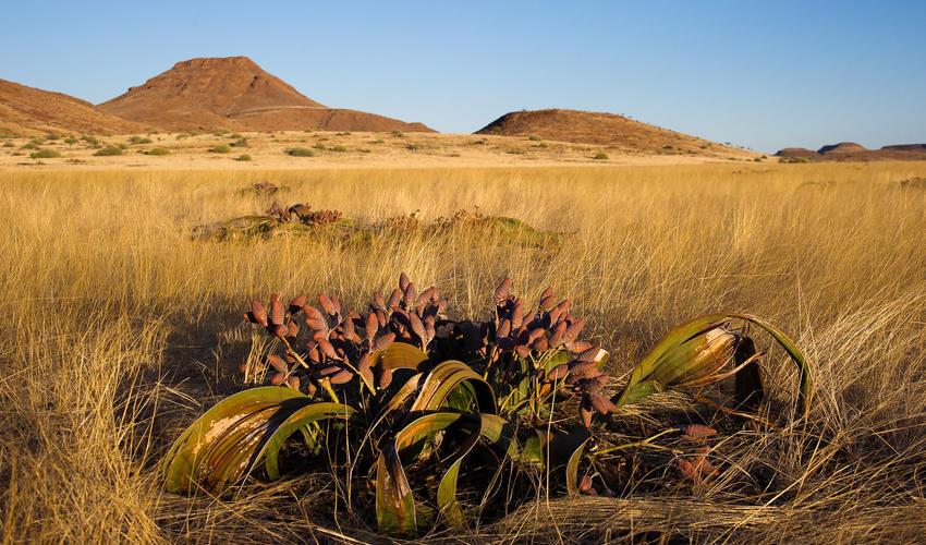 Welwitschia, Namibia's national plant