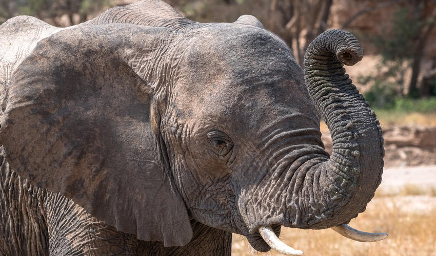 Young elephant gets to grips with its multi-purpose trunk