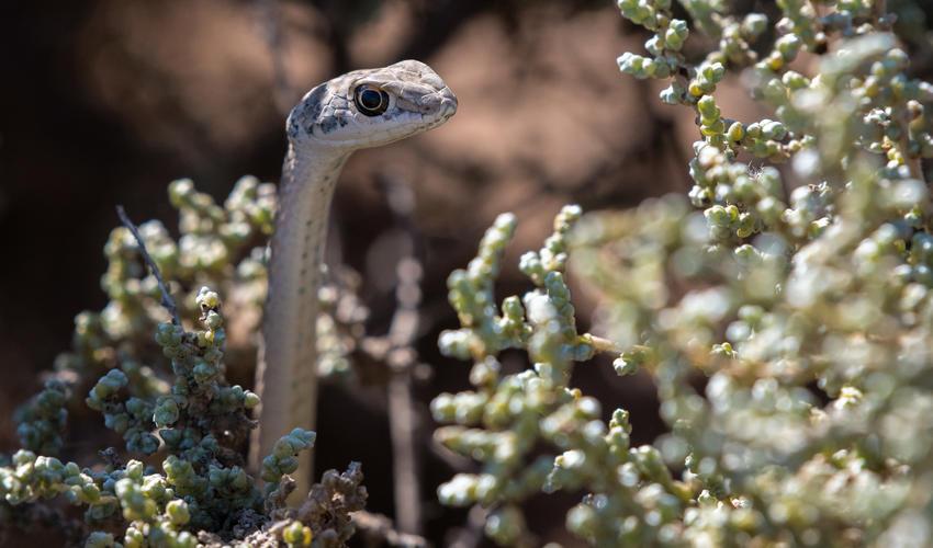 Namib sand snake (Psammophis namibensis)
