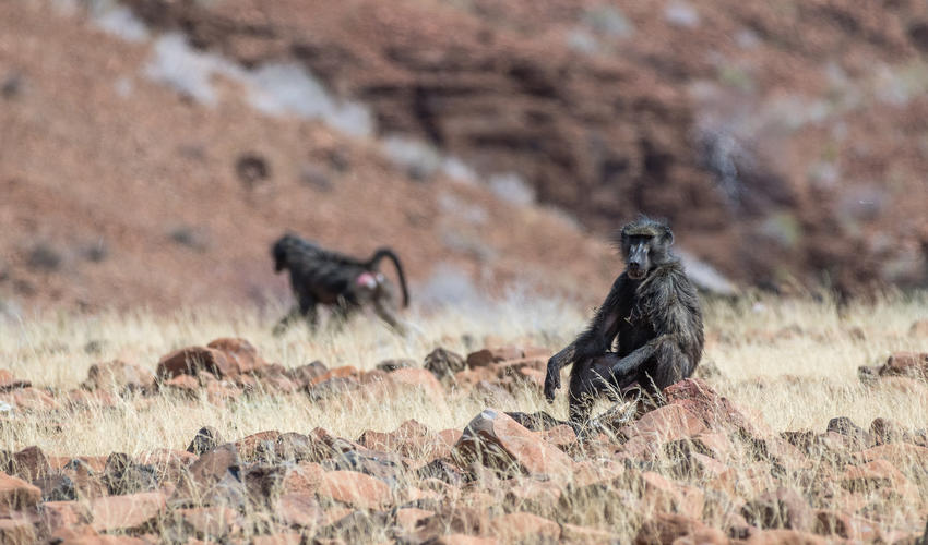 The chacma baboon manifests a wide variety of social behaviours