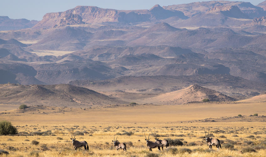 Oryx appear as inscrutable as the desert landscape they are so perfectly adapted to