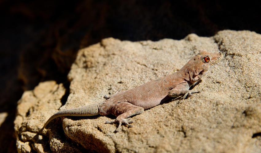 Boulton's Namib day gecko (Rhoptropus boultoni)