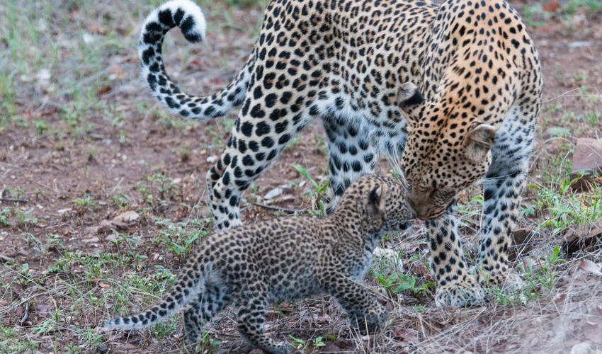 Daily sightings of leopard recorded at Mashatu