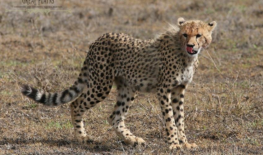 Young Cheetah near ol Donyo