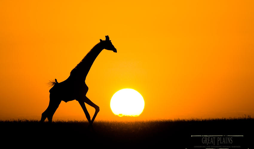 Sunset and Giraffe on Plains