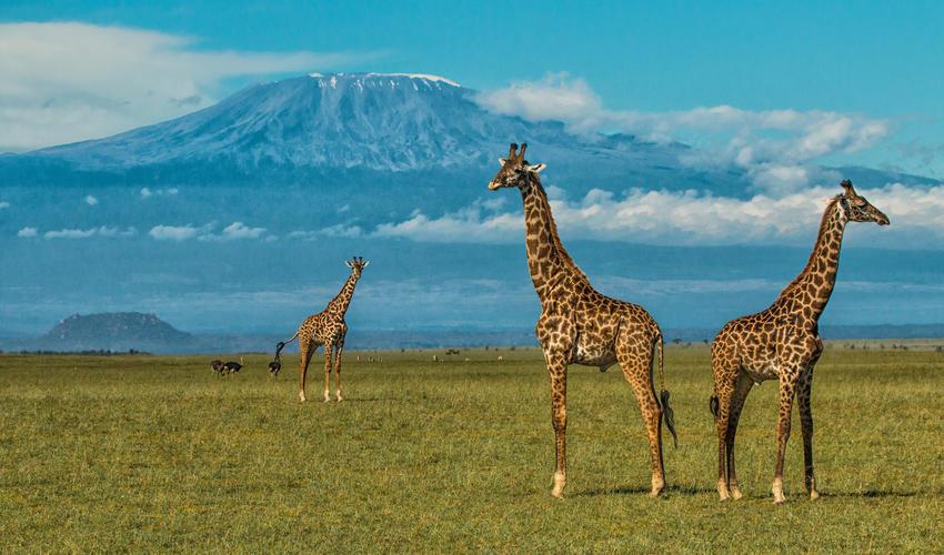 Giraffe at the Foot of Kilimanjaro