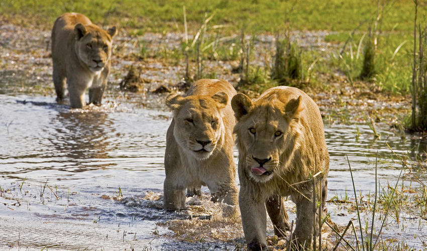 Lions Crossing the Selinda Spillway