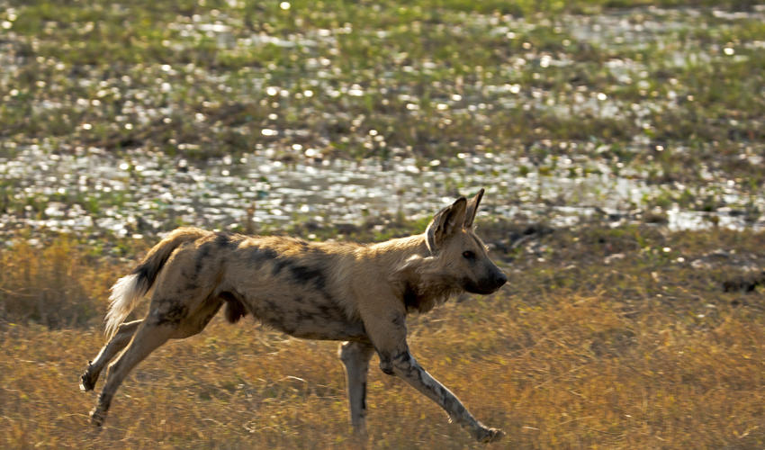 Wild Dog Sighting Along the Spillway