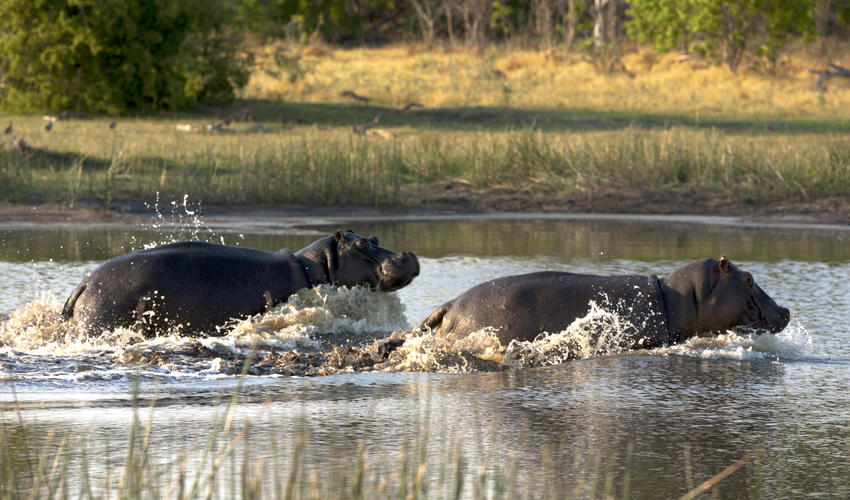 Hippos Charging through the Spillway