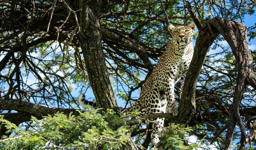 Leopard near Mara Plains