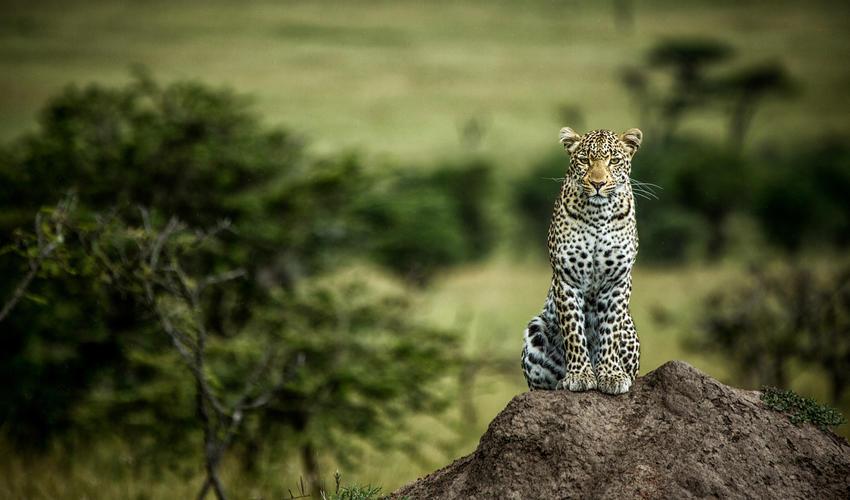Leopard in the Olare Motorogi Conservancy