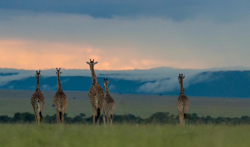 Giraffe in the Masai Mara