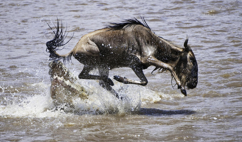 The Dangers of Crossing the Mara River