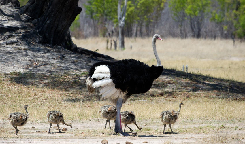 An ostrich and her chicks