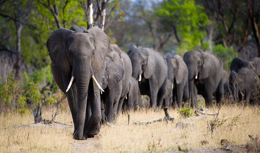 Large herds of African elephant